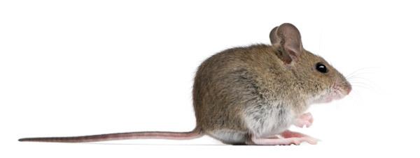 rodent-extermination