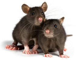 rodent-problem